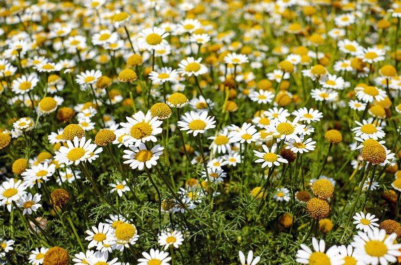 Camomila, uma das plantas mais conhecidas e mais utilizadas na rotina